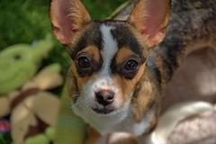 Cute Face . . Looking At You (Scott 97006) Tags: dog look face puppy cute adorable eyes petite