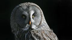 Bartkauz (karinrogmann) Tags: bartkauz greatgrayowl alloccodilapponia greifvogelstationhellenthal