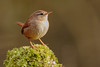 Wee Cheeky Wren - different poses (microwyred) Tags: beak nature animalsandpets birds broadwaterstackpools greencolor oneanimal closeup animal small birdwatching wildlife feather beautyinnature animalsinthewild brown mistlethrush bird colorimage outdoors perching wren abstracts springtime animalwing