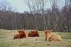 Totally Zen..... (Johan Moerbeek) Tags: highlandcow highland hooglanders koeien duinen noordholland gras grass bruin brown rust dunes heemskerk