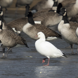Ross' Goose - Chen rossii