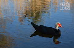 Duck is Watching (Countryshooter) Tags: duck pato green nature shot nikon d3200 water sunny day agua