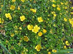 Tormentil (Philip_Goddard) Tags: tormentil potentilla rosaceae floweringplants heath moor wildflowers plants southwestengland england unitedkingdom britain british britishisles greatbritain uk europe