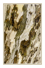 Abstract Sycamore Bark 3 (TAC.Photography) Tags: abstract abstracts bark texture patterns sycamore lines framed photography nature art artform tacphotography d7000 httpwwwtomclarknet tomclarknet