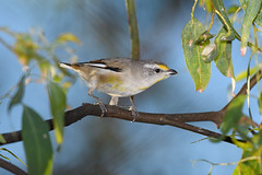 Striated Pardalote (The Gullet) Tags: striated pardalote south australia flash sb700 better beamer