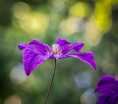 Lily Bokeh. (Omygodtom) Tags: bokeh flower flickr leica lily purple golden google green macro macrodreams branch existinglight tamron90mm tamron outside ngs ngc usgs