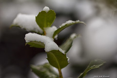 Snow on Holly Leaves (scottnj) Tags: holly snow winter cold ice snowflakes snowcovered dustingofsnow coveringofsnow scottodonnellphotography scottnj 365project 30365 365the2018edition 3652018 day30365 30jan18 leaves hollyleaves