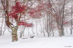 Contrastes (Jabi Artaraz) Tags: rojo blanco athletic jabiartaraz jartaraz zb euskoflickr invierno nieve hayedo frío haya árboles hojas rojiblanco