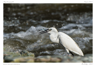 Aigrette garzette | Little Egret