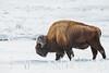 Bison in Yellowstone National Park (li_chang) Tags: yellowstonenationalpark wyoming unitedstates us bison buffalo animal wildlife winter snow frozen walking dangerous