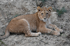African lion cub - Safaripark Beekse Bergen (Mandenno photography) Tags: dierenpark dierentuin dieren animal animals african lion lions leeuw leeuwen safari safaripark beekse bergen bigcat big cat ngc n nederland netherlands nature