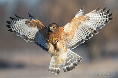 Brakes on (Earl Reinink) Tags: hawk raptor bird animal redshoulderedhawk nature outside rdddduaata earl reinink earlreinink