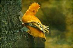 Oranje rotshaantje............ (atsjebosma) Tags: yellow vogel geel tropisch exotic boom bokeh atsjebosma avifauna alphenadrijn thenetherlands nederland january 2018 ngc coth5 npc