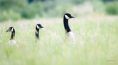 twos's company (jeff.white18) Tags: approved canadageese canadagoose goose geese bird field nature wildlife wild flickr