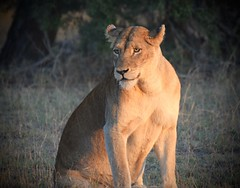 Bathed in the Light (The Spirit of the World ( On and Off)) Tags: lion lioness cat bigcat female wildlife nature safari gamedrive timbavati gamereserve sunlight afternoon africa southafrica