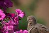 Peaceful Easy Feeling (Scott 97006) Tags: flowers bokeh dove bird eyes pink pretty peaceful snooze sleep eye flower