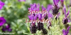 spanish-lavender (floracompass) Tags: floracompass flora trees plants gardening shrubs flowers spanishlavender lavender floweringtrees