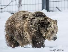 The Grizzly & Wolf Discovery Center,West Yellowstone (Pattys-photos) Tags: grizzlyandwolfdiscoverycenter westyellowstone pattypickett4748gmailcom pattypickett