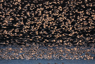 Four Canadian Geese & 2964 Snow Geese