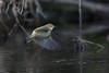 330.jpg (Kico Lopez) Tags: mosquiterocomún miño lugo aves galicia birds phylloscopuscollybita spain rio