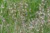 Juncus nevadensis (Sierra Rush) (birdgal5) Tags: california shastacounty lassenvolcanicnp lassenvolcanicnationalpark lilypond nikon d4 nikond4 80400mmf4556gafsedvr juncusnevadensis juncus sierrarush rush juncaceae nativeperennial grasslikeherb july inaturalistorg