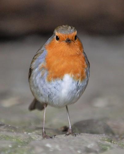 Rockin' robin.