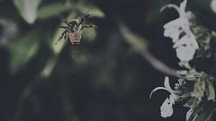 Purple Despair 🌺VI🌺 (Vincent Monsonego) Tags: sony α αlpha alpha ilce7rm2 a7rii a7r2 sonyalphadslr sonyalpha fe 2470mm f28 gm 2470mmf28gm sel2470gm bee macro spider web
