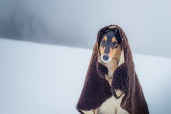 02/12 B Nora, so sweet... (shila009) Tags: nora roughcollie dog portrait winter cold blue fog niebla azul snow nieve 0212b sweet dogphotography 12mfd sheepdog