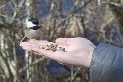 Fearless Chickadee (brucetopher) Tags: bird feed feeding eat nature birdwatching birding birds chickadee littlebird eatingoutofmyhand abirdinthehand
