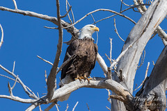 Bald Eagle surveys the area from its new perch