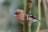 Jean-Luc Wolf_2018-02-11_13-21-48 (Jean-Luc Wolf) Tags: a4 oiseaux parcdesceaux pinsondesarbres sceaux antony îledefrance france fr