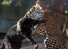jaguar Artis BB2A5909 (j.a.kok) Tags: jaguar jaguarcub jaguarwelp moederenkind motherandchild pantheraonca kat cat mammal zoogdier dier animal artis zuidamerika southamerica