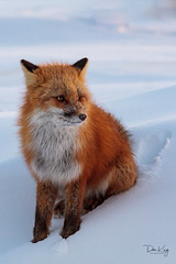 At Ease (Dan King Alaskan Photography) Tags: redfox fox vulpesvulpes northslope alaska canon50d sigma150500mm
