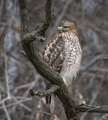 DSC_8026-Edit (Kathy Duncan Photography) Tags: kathyduncanphotography nikon nature tamron150600mm raptor redtailedhawk