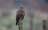 Buizerd - Common Buzzard - Buteo buteo-3292 (Theo Locher) Tags: commonbuzzard buizerd mausebussard busevariable buteobuteo birds vogels vögel oiseaux netherlands nederland copyrighttheolocher