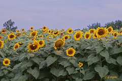 DSC_7273 ~ Sunflower Field (stephanie.ovdiyenko) Tags: sunflowers sunflowerfield flower yellow plant summer