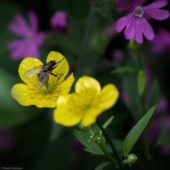 Fly (Jesse Väisänen) Tags: wallpaper insect bug fly flower minimalistic nature closeup macro colorful composition outdoors suomi finland canon dslr photography