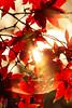 IMG_9798 (Matthew_Li) Tags: red leaf japan maple leaves