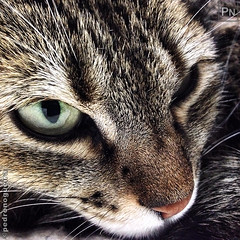 Sergio Leone Eyes (Pedro Nogueira Photography) Tags: pedronogueiraphotography pedronogueira photography animal cat gato doméstico domestic kitty kittens pets pet mobilephone iphone5 telemóvel iphoneography p'eta