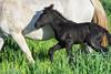 DSC_0147Q4DSC_0147potrillo (pollakhenry57) Tags: potrillo foal chile