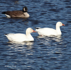 Snow Geese (billbigfish) Tags: waterfowl fowl geese goose snowgoose snowgeese ngc birdwatcher canon canon80d tamron