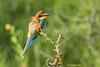 Guêpier d'Europe  (Merops apiaster) (francisaubry) Tags: nikon nikkor 300mm bird aves nikonflickraward