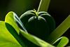 Wolfsmilch, kreuzblättrige (blasjaz) Tags: blasjaz botanik frucht springfrucht pflanzen pflanze plant springwolfsmilch wühlmauswolfsmilch warzenkraut