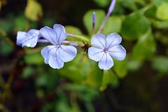 WOL Calauan Laguna Philippines Day 7 (82) (Beadmanhere) Tags: philippines flowers