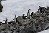 Chinstrap Penguins on the Rocks (puliarf) Tags: penguins chinstrappenguins halfmoonisland antarctica antaracticapeninsula kayak akademikioffe