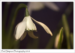 Snowdrops (Paul Simpson Photography) Tags: snowdrops snowdrop flowers spring whiteflowers sonya77 paulsimpsonphotography nature naturephotography imagesof imageof photoof photosof february2018 stilllife lifescience