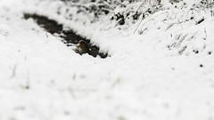 Under Snow (ZeGaby) Tags: birds naturephotography neige pentaxk1 rougegorge sigma100300mmf4 snow wildlife europeanrobin fontainesuray grandest france fr