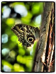 Zahn der Zeit (1elf12) Tags: berggarten hannover herrenhäusergärten germany smileonsaturday catchthebokeh park bananenfalter butterfly garden schmetterling deutschland tropen gaukler bokehlicious