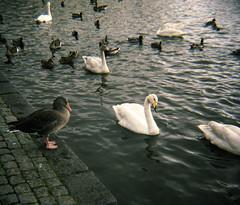 goose (lawatt) Tags: goose pinkfooted swan birds ducks lake water reykjavik iceland film 120 portra 400 diana f