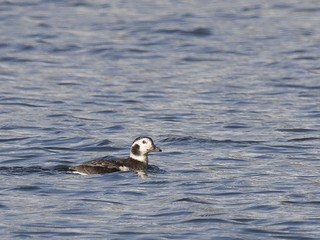 Long-tailed Duck (female) - Clangula hyemalis
